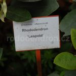 Rododendron Leopold