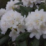 Rododendron Liane