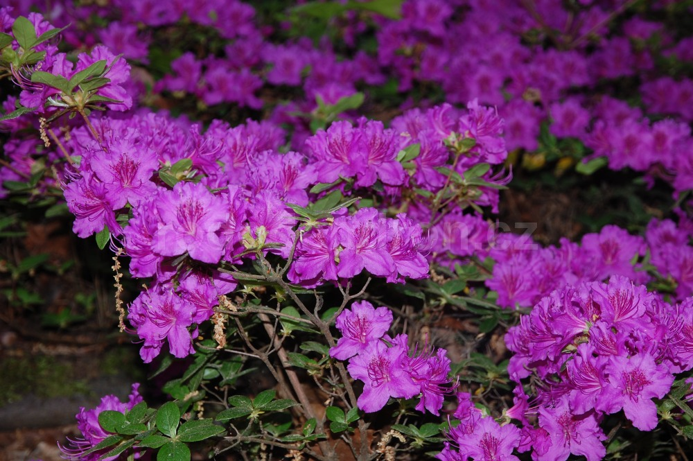Rododendron Lilienstein