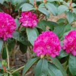 Rododendron Lipnice