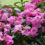Rododendron Loket