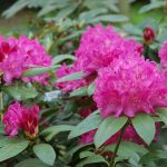 Rododendron Lord Clyde