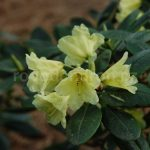Rododendron Loreta