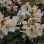 Rododendron Loy