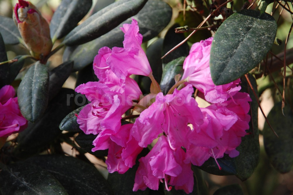 Rododendron Lumina