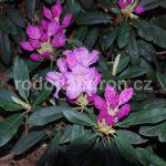 Rododendron Lunik