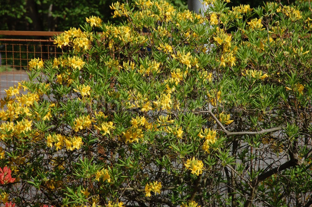 Rododendron Luteum