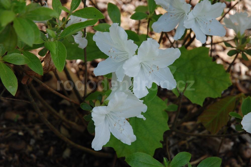 Rododendron Luzi