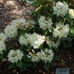 Rododendron Maharani