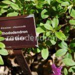 Rododendron Malá Skála