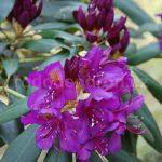 Rododendron Marcel Menard