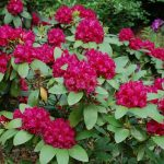 Rododendron Margot