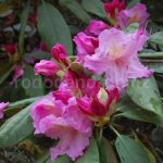 Rododendron Margret