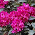 Rododendron Marie Forte