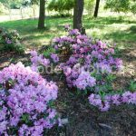 Rododendron Marie Oliva Schlick