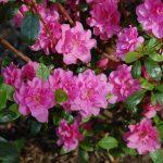 Rododendron Marinja