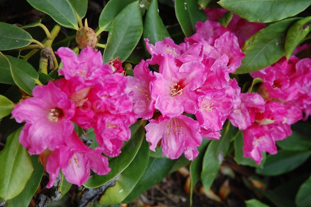 Rododendron Marka