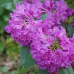 Rododendron Markgraf