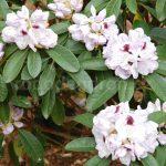 Rododendron Marsala