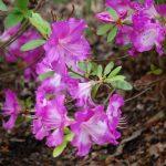 Rododendron Martha Hitchcock