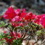 Rododendron Marushka