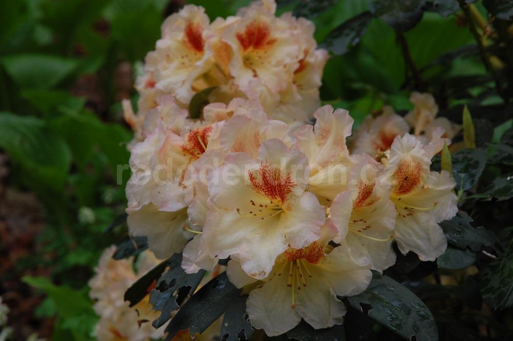Rododendron Marylou