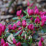 Rododendron Melina