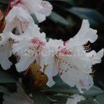 Rododendron Melpomene