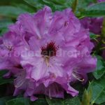 Rododendron Mercator