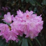 Rododendron Metternichii