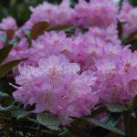 Rododendron Metternichův