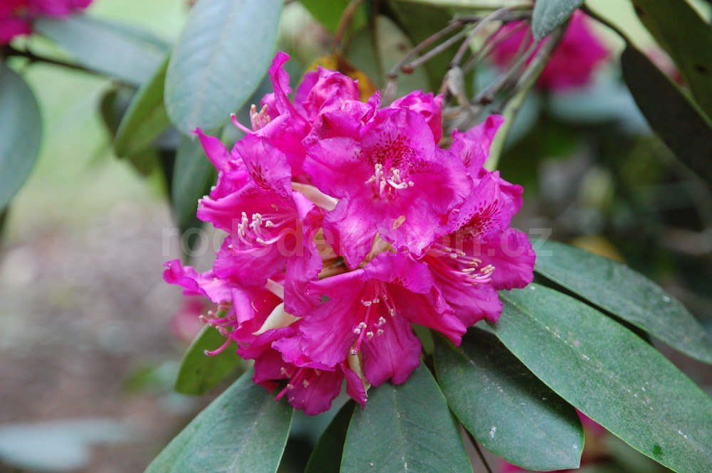 Rododendron Mexico
