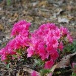 Rododendron Michiro