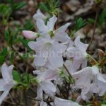 Rododendron Micranthum