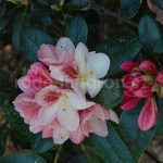 Rododendron Mikado