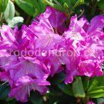 Rododendron Milan