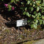 Rododendron Minus