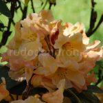 Rododendron Mirabella