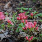 Rododendron Morava