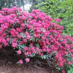 Rododendron Moravanka
