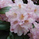 Rododendron Motýl