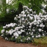 Rododendron Mount Everest