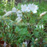 Rododendron Mucronatum Blume