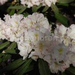 Rododendron Munchen