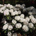 Jak správně vysadit rododendron