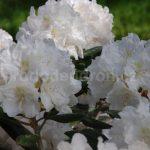 Rododendron Mustaffa