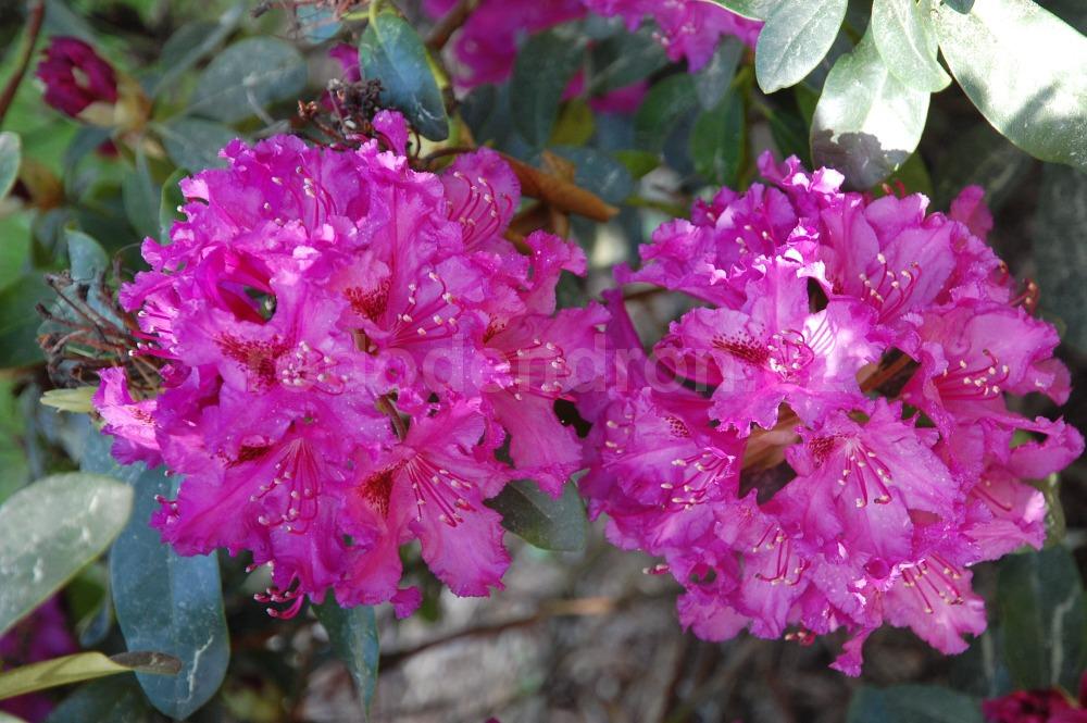 Rododendron Myrte