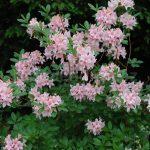 Rododendron Nancy Buchanan