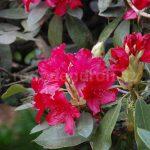 Rododendron Nicoline