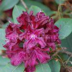 Rododendron Nigrescens